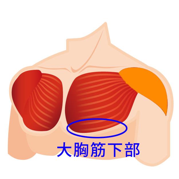 大胸筋下部